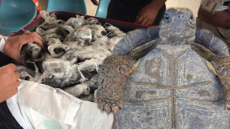 พบ ลูกเต่าราว 200 ตัวในกระเป๋าเดินทาง เต่ายักษ์กาลาปากอสกำลังใกล้สูญพันธุ์และการถูกค้ามนุษย์เป็นหนึ่งในภัยคุกคามที่พวกเขาเผชิญ  เจ้าหน้าที่